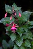 Fúcsia cor-de-rosa Fotografia de Stock