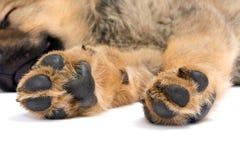 Füße eines Schlafenwelpen Stockfotografie