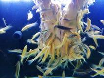 Füße menschlich im Aquarium für Fisch-Badekurort-Therapie-Festlichkeits-Haut-Allergie und Psoriasis Stockbild