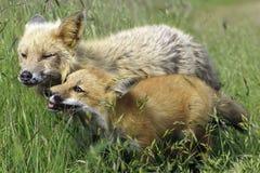 Füchse, die zusammen auf einem Gebiet spielen Lizenzfreie Stockbilder
