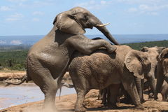 Fügende Elefanten. Lizenzfreies Stockfoto