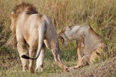 Fügende Löwen. Die Nachmahd. Lizenzfreie Stockbilder