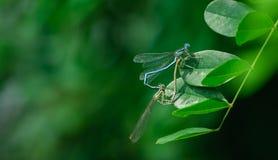 Fügende Libellen Stockbild