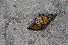 Fügende Monarchfalter lizenzfreies stockfoto