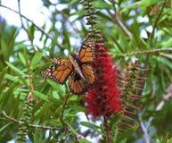 Fügende Monarchfalter Stockfotos