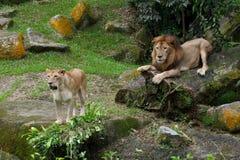 Fügende Paare des Löwes Lizenzfreie Stockfotos