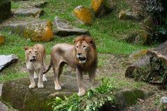 Fügende Paare des Löwes Stockfotografie