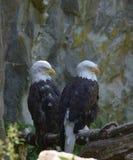 Fügende Paare Weißkopfseeadler zusammen Stockfoto