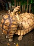 Fügende Schildkröten stockfoto