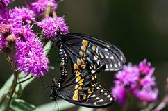 Fügende Schmetterlinge Lizenzfreies Stockbild