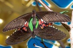 Fügende Schmetterlinge, mit buntem Hintergrund Stockfotos