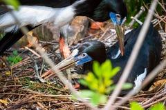 Fügende Vögel in einem Nest im wilden von Florida lizenzfreie stockfotos