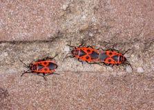Fügender Brandstifter auf einer Wand (Pyrrhocoris apterus) Lizenzfreie Stockbilder