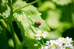 Fügender Marienkäfer im Grün verlässt Nahaufnahme helle Frühlingsnatur Stockfoto