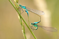 Fügendes Rad des Damselfly Stockfotos