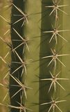 Führen Sie Ansicht blühenden cardon Kaktus im Sommer in Sumpfgebiet unare Lagune Venezuela einzeln auf lizenzfreie stockfotos