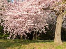 Führen Sie Foto von japanischen Kirschblütenblumen und -baum einzeln auf Lizenzfreie Stockfotografie