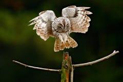 Führen Sie Gesichtsporträt des Vogels, große orange Augen und Rechnung, Eagle Owl, Bubo Bubo, seltenes wildes Tier im Naturlebens Stockfotografie