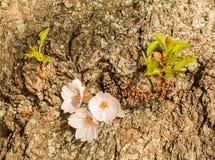 Führen Sie Makrofoto von japanischen Kirschblütenblumen einzeln auf Lizenzfreies Stockbild