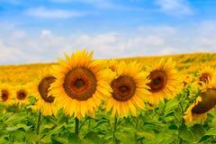 Führen Sie nette gelbe Sonnenblume auf dem Feld gegen den Himmel, mit Biene einzeln auf Stockbild
