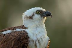 Führen Sie Porträt des Fischadlers, des Raubvogels mit gelbem Auge und der gebogenen Rechnung, Florida, USA einzeln auf Stockfoto