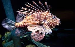 Führen von Lion Fish stockbild