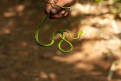 Führer nimmt dünne grüne Schlange in die Hand Lizenzfreies Stockbild