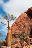 Füllen Sie Baumüberblick, Dragon Blood-Baumwald in Homhil-Hochebene, Socotra, der Jemen ab Lizenzfreie Stockbilder
