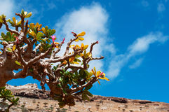 Füllen Sie Baumüberblick mit Dragon Blood-Baumwald im Hintergrund, Homhil-Hochebene, Socotra, der Jemen ab Lizenzfreie Stockfotografie