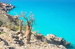 Füllen Sie Baum (Wüstenrose - Adenium obesum) auf der felsigen Küste des Arabischen Meers, Socotra ab Lizenzfreie Stockfotos