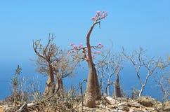 Füllen Sie Baum (Wüstenrose - Adenium obesum) auf der felsigen Küste des Arabischen Meers, Socotra ab Stockbilder