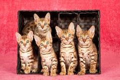 Fünf Bengal-Kätzchen, die innerhalb eines schwarzen Behälters sitzen stockfotografie