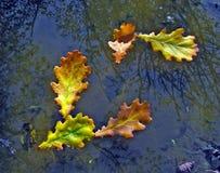 Fünf Blätter der Eiche Stockfotografie