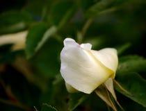 Fünf Blumenblatt Rose Bud Soft Lizenzfreie Stockbilder