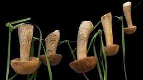 Fünf braune Boletus, die auf Seil trocknen Stockbild
