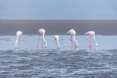 Fünf Flamingos, die in die Lagune an der Walfischbucht einziehen Stockfoto