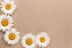 Fünf Gänseblümchen wachsen auf dem Sand mit Raum für Ihren Text Stockfotos