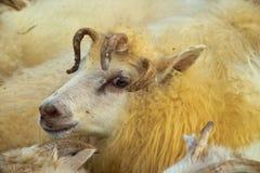 Fünf gehörnte Schafe Stockfotos