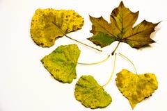 Fünf gelbe Blätter Lizenzfreies Stockbild