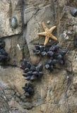 Fünf gezeigter Seestern befestigt zum Rock Lizenzfreie Stockfotos