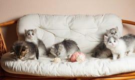 Fünf graue Kätzchen Lizenzfreie Stockfotografie