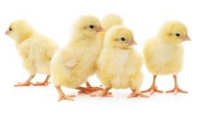 Fünf Hühner Lizenzfreies Stockbild