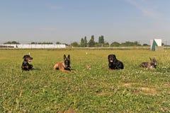 Fünf Hunde stockfoto