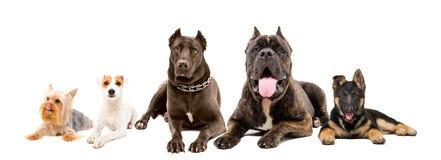 Fünf Hunde der unterschiedlichen Zucht, die zusammen liegt Stockbilder