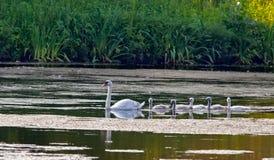 Fünf junge Schwäne und ihre Mutter. Lizenzfreie Stockfotos
