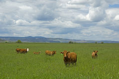 Fünf Kühe. stockfotografie