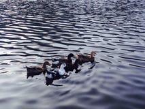 Fünf kleine Enten lizenzfreies stockfoto