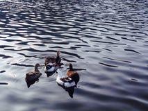 Fünf kleine Enten stockfoto