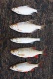 Fünf kleine Fische auf Stein stockfotografie
