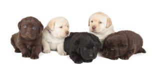 Fünf Labrador retriever-Welpen Lizenzfreie Stockfotos